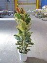 フィカス・ティネケ 10号 観葉植物 ゴムの木 斑入り 販売 苗 苗木 インドゴムノキ 鉢植え 希少種 送料無料