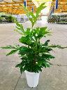 ステノカーパス 8号 観葉植物 シヌアツス ステノカルプス 大鉢 鉢植え 販売 苗 苗木 送料無料 インテリア 贈り物 ギフト お誕生日 記念…