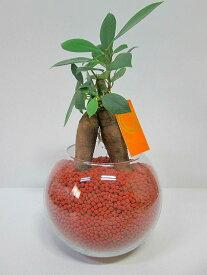 ハイドロカルチャー 観葉植物 ネオコール (ブラウン) バブ12 ガジュマル 水耕栽培 お中元 お歳暮 母の日 プレゼント ギフト 敬老 インテリア プランツ 贈り物 誕生日