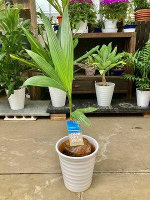 ココヤシ8号陶器鉢ヤシの木観葉植物ヤシの実ヤシノミ送料無料ココナツ実販売通販やしの木椰子【smtb-s】