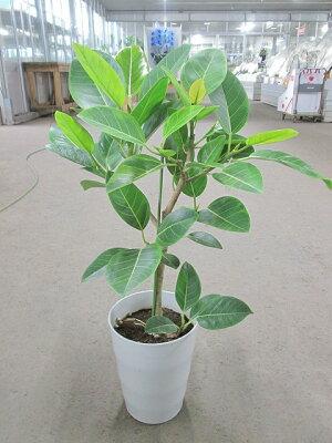 アルテシーマ7号観葉植物鉢植え苗インテリア贈り物ギフト鉢鉢植え母の日お誕生日記念日開店祝い