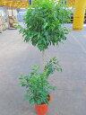 ベンジャミン 10号 スタンド 観葉植物 鉢植え ベンジャミナ シダレガジュマル ベンジャミンゴム 販売 送料無料 インテリア 贈り物 ギフ…