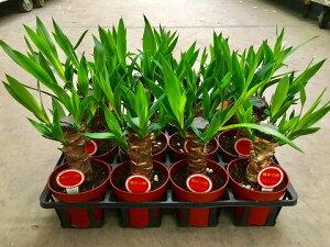 ユッカ(青年の木)4号1ケースミニ観葉セット(12鉢入り)とってもかわいいミニサイズの観葉植物です。プラスチックの鉢にミニサイズのユッカが12鉢入っているのでいろいろな場所に飾れます。