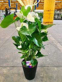 アンスリウム(アンスリューム)白 10号鉢(尺鉢)四季咲きで花持ちが良く涼しげでギフトとして大変喜ばれている人気商品です。大変大きく高さもありお部屋のインテリアとして置いて頂くと一段と華やかになります。開店祝い、新築祝いなどにもおすすめです。【smtb-s】