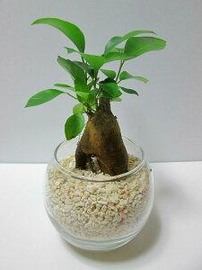 ハイドロカルチャー 観葉植物 サンゴ砂 バブ10 ガジュマル 水耕栽培 お中元 お歳暮 母の日 プレゼント ギフト 敬老 インテリア プランツ 贈り物 誕生日
