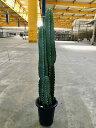 柱サボテン 10号 シャボテン カクタス 販売 苗 苗木 鉢植え 希少種 送料無料