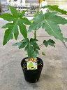 パパイヤ 苗 矮小性 3号ポット ハワイ オウロ 苗 ダイエットフルーツ 果樹