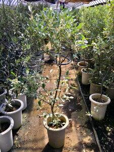 ロシアン・オリーブ 7号 グミ科 観葉植物 オリーブ 販売 苗 苗木 斑入り 鉢植え 希少種 送料無料【smtb-s】