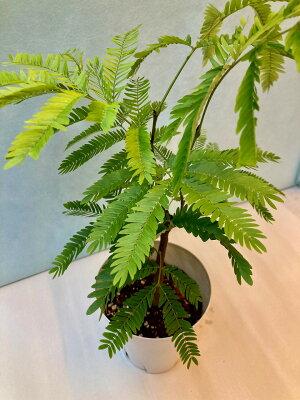エバーフレッシュ4号ホワイト観葉植物ねむの木インテリア贈り物ギフト母の日誕生日記念日開店祝い鉢