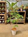 エバーフレッシュ ねむの木 8号陶器鉢植え 陶器鉢NEWデザイン 昼は起きて夜になるとお休みモード♪観葉植物 インテリア 鉢植え 陶器鉢 …