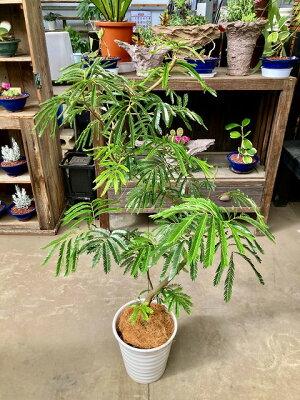 【数量限定】エバーフレッシュ(ねむの木)8号鉢昼は起きて、夜になるとお休みモード♪とってもかわいいライトグリーンの葉は、とってもスタイリッシュで高級感のある雰囲気の観葉植物です。お手入れもカンタンでお部屋のインテリアや贈り物に最適です。【smtb-s】