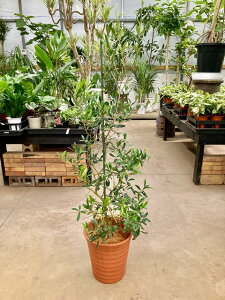 オリーブの木 8号鉢 茶陶器鉢 平和のシンボルとして人気のある観葉植物です。小さくて可愛い葉がインテリアグリーンとして最適です。観葉植物 植木 庭木 ギフト プレゼント シンボルツリ