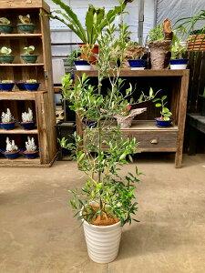 オリーブの木 8号鉢 白陶器鉢 平和のシンボルとして人気のある観葉植物です。小さくて可愛い葉がインテリアグリーンとして最適です。観葉植物 植木 庭木 ギフト プレゼント シンボルツリ