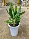 アグラオネマ スノーホワイト 8号 観葉植物 鉢植え 苗 苗木 木 販売 送料無料 涼しげ