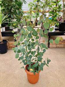 ユーカリ ポポラス 8号 鉢植え 観葉植物 アロマ 苗木 苗 ユーカリの木 通販 送料無料 販売 【smtb-s】