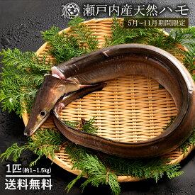 鮮魚 直送 ハモ (生) はも (大) 1尾 (1kg〜1.5kg) 天然 ハモ 香川県産 神経抜き 冷蔵 [送料無料 鱧 魚 湯引き 蒲焼き ] グルメ ※5月〜11月のみ期間限定 お取り寄せグルメ