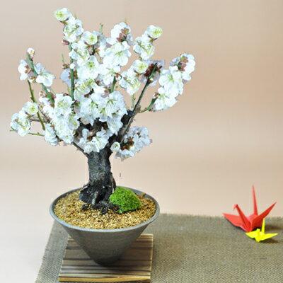 白梅 すり鉢【梅の盆栽 白い花 ギフト 盆栽 開店 お祝い 退職 ラッピング 母の日 父の日 敬老の日 誕生日】