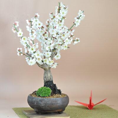 白梅 信楽焼鉄鉢 赤土色の鉢色が花を引き立てる絶妙の一鉢です。