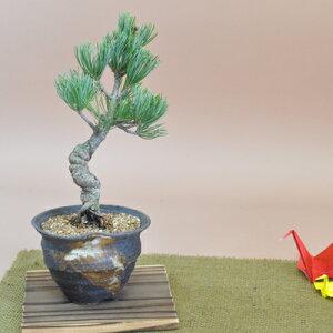 盆栽 五葉松 ミニ盆栽 ラッピング メッセージカード、育て方冊子 肥料付 送料無料 ギフト お祝い ラッピング 信楽焼 陶器鉢 鉢植え