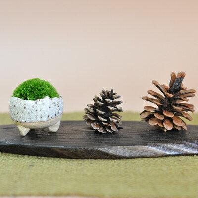 コケ坊 小さくて愛らしい苔盆栽