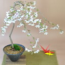 しだれ桜 【盆栽 桜 しだれ桜の盆栽 サクラのシャワーを浴びたい方へ 枝垂れ桜 ギフト 盆栽 開店 お祝い 退職 ラッピ…