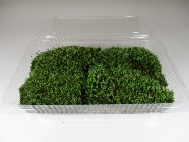 苔玉 苔盆栽 テラリウム の 苔 こけ ホソバオキナゴケ 1パック分 【 送料無料 】