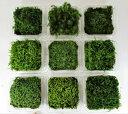 苔盆栽 テラリウム の 苔 選べる こけ お好み コケ 4種 セット 【 送料無料 】 アラハシラガゴケ スナゴケ ハイゴケ …