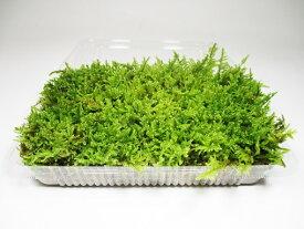 苔玉 苔盆栽 テラリウム の 苔 こけ ≪ 日光産 ≫ ハイゴケ 1パック分 【 送料無料 】