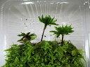 苔盆栽 テラリウム の 苔 こけ オオカサゴケ オオガサゴケ パック入り【 送料無料 】