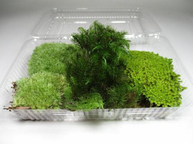 苔玉 苔盆栽 テラリウム の 苔 こけ 3種セット ヒノキゴケ アラハゴケ スナゴケ 1パック分 テラリウム 用 【 送料無料 】