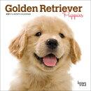 Golden Retriever Puppies 2021 Mini 7x7