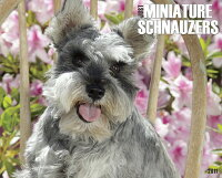 Just_Miniature_Schnauzers_Cale