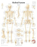 The Skeletal System Chart: Laminated Wall Chart