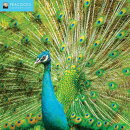 2018 Peacocks Wall Calendar