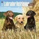 Labrador Retriever Puppies 2017 Square