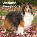 Shetland Sheepdogs 2019 Square