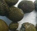 【天然 石巻貝】イシマキガイ10匹セット 10匹+3匹(補償分)合計13匹セットサイズ 約0.5cm〜1.5cm 苔取り・残餌処理・…