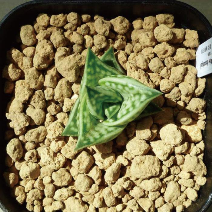 アロエ・千代姫「多肉植物」希少種 [Aloe variegata と Aloe descoingsiiのハイブリッド