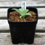 観葉植物多肉植物アガベアテナータAgaveattenuata