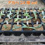 アガベ24種セットagave【多肉植物観葉植物珍奇植物趣味園芸男前植物ドライガーデン】