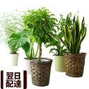 【あす楽 送料無料 観葉植物 おしゃれ】選べる12種類 観葉植物【5号鉢 6号鉢 カゴ付き インテリア ベンジャミン サン…