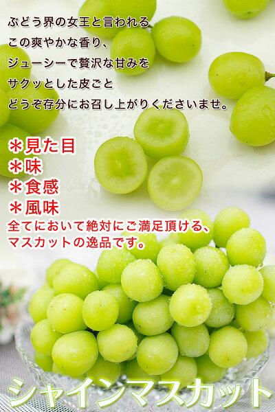 シャインマスカット約1.2kg(2房入)【送料無料】※一部地域を除く大粒・種なし・皮ごと食べれる美味しいぶどう!糖度驚きの20度以上!葡萄ブドウ和歌山県産高糖度ブドウマスカット
