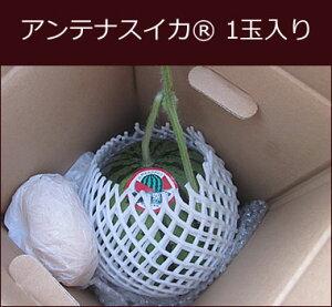アンテナスイカ 1玉入り お届けしたころが食べごろ 西瓜 すいか 贈答 自家用 プレゼント こだわり フルーツ ギフト