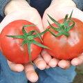 井口さんちのフルーツトマト