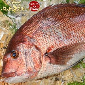 匠が育てた極上の鯛 タイ たい 丸ごと1尾(約2kg、エラと内臓、鱗除去済) お食い初め 刺身はもちろんのこと、塩焼き、しゃぶしゃぶ、ソテー、握り等数々の料理におすすめです。