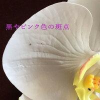 胡蝶蘭髪飾り【難ありB級品】【花嫁さんの白無垢に似合う髪飾り】