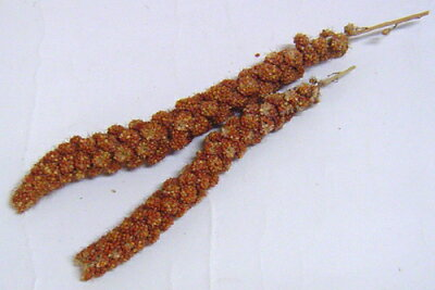 赤粟の穂500g