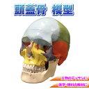 頭蓋骨 模型 勉強 医学 理科 人物デッサン