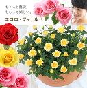 【母の日】天皇杯受賞!送料無料 エコロ・フィールド 丁寧に植え込んだ寄せ植え お花いっぱい 感謝を届けるバラの鉢植え 花色3色 母の…