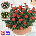 <専門店のバラの鉢植え> 花色が選べる 送料無料 エコロ・フィールド 誕生日プレゼント 結婚記念日 女性 誕生日 母 祖母 ギフト 花 還…